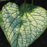 Brunnera_Silver Heart_1 (2)