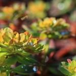 Euphorbia Bonfire (2)